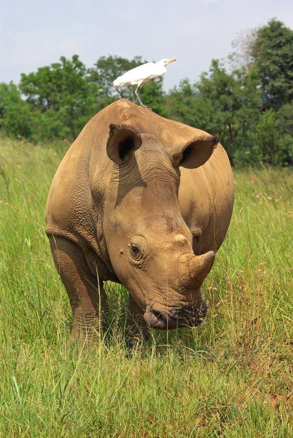 De rinoceros van Whito stock foto's