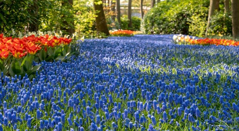 De rivier van blauwe druivenhyacinten en rode tulpen in Keukenhof tuiniert, Lisse, Nederland Keukenhof is genoemd geworden Tuin v stock fotografie
