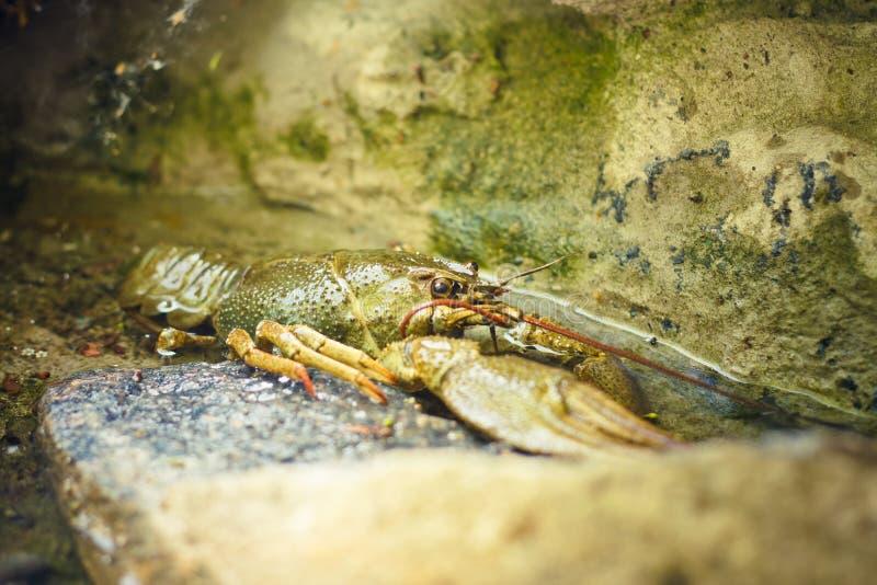 De rivierkreeften ter beschikking stock foto's