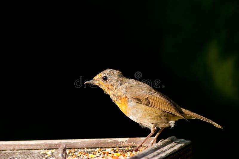 De Robin de juvénile vue de profil de Lit brillamment photos stock