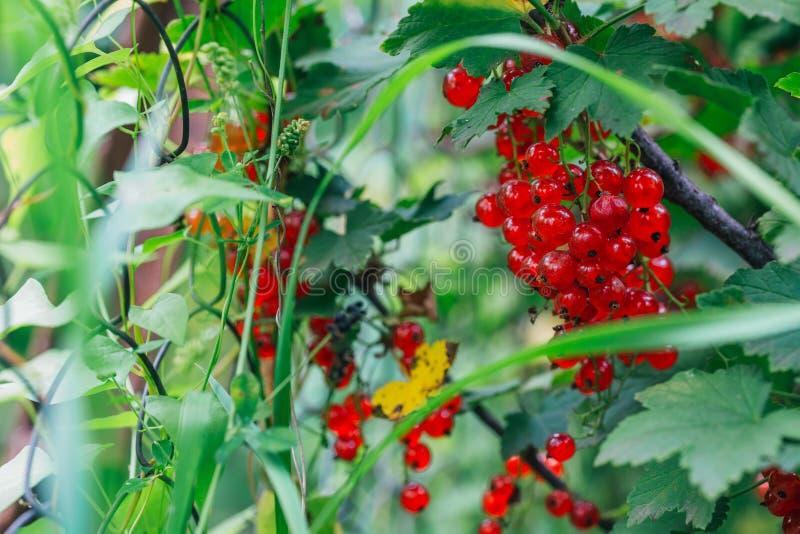 De rode aalbes groeit op struik achtergrondbladeren royalty-vrije stock foto's