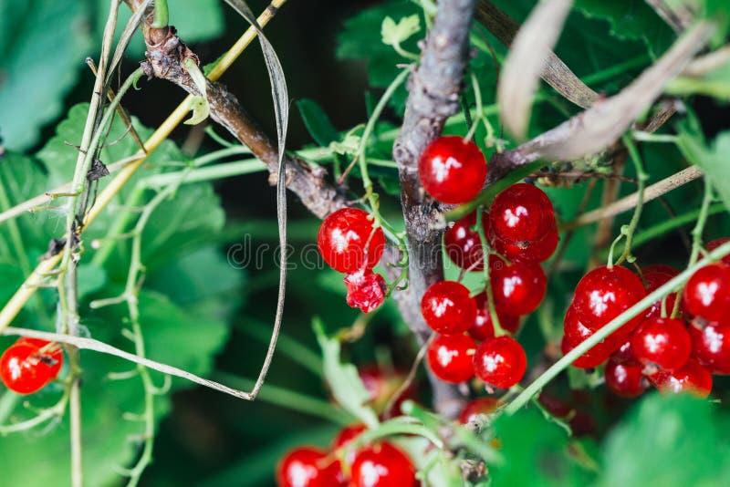 De rode aalbes groeit op struik achtergrondbladeren stock foto's