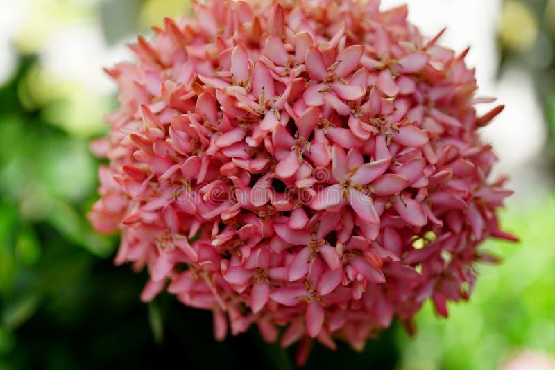 De rode aarbloem die in de tuin groeit royalty-vrije stock foto's