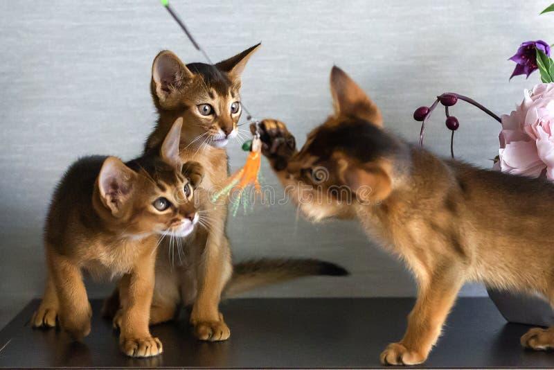 De rode Abyssinian-katjes zijn grappig en vrolijk stock foto