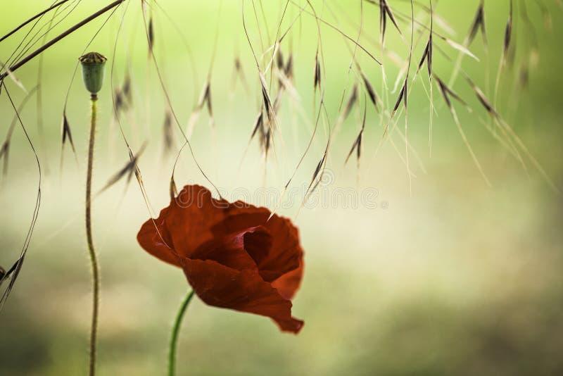 De rode achtergrond van de papaverbloem stock fotografie