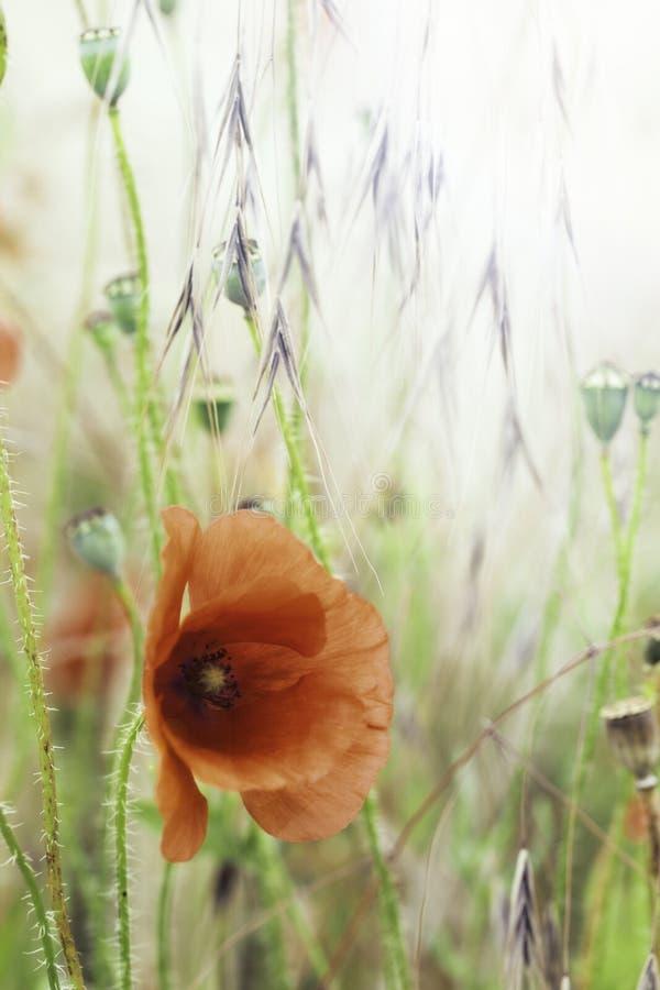De rode achtergrond van de papaverbloem stock foto