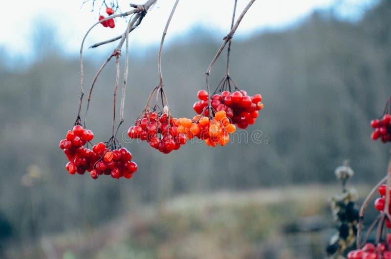 De rode bessen van guelder-namen bij de winter toe royalty-vrije stock fotografie