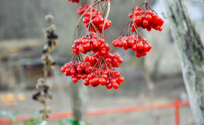 De rode bessen van guelder-namen bij de winter toe royalty-vrije stock afbeelding
