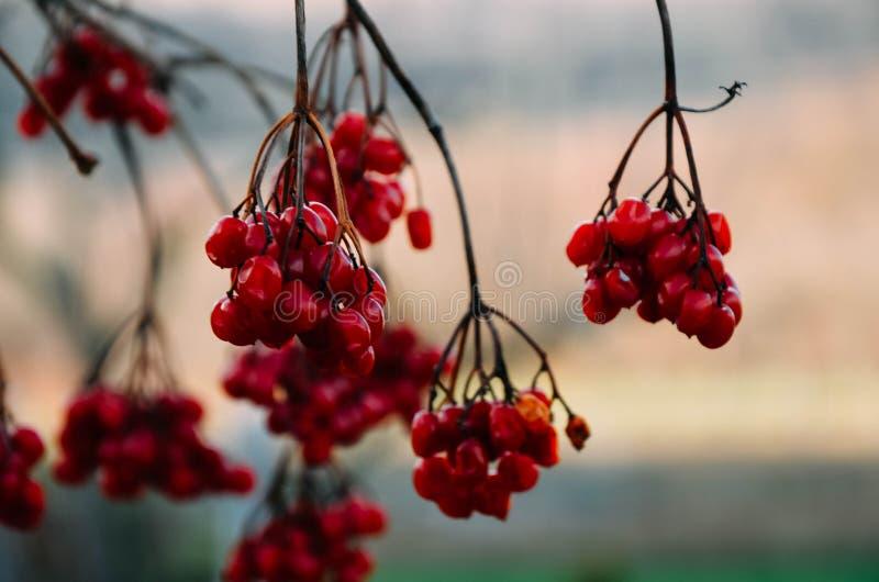 De rode bessen van guelder-namen bij de winter toe stock afbeelding