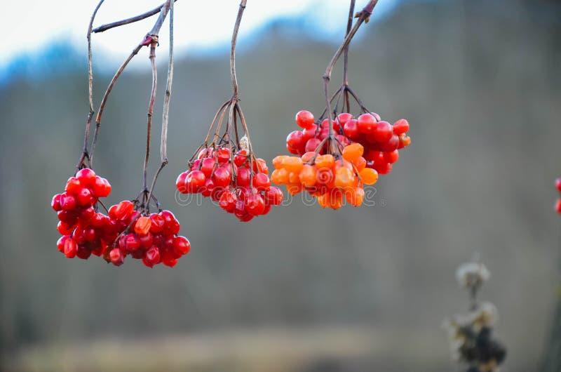 De rode bessen van guelder-namen bij de winter toe stock foto's