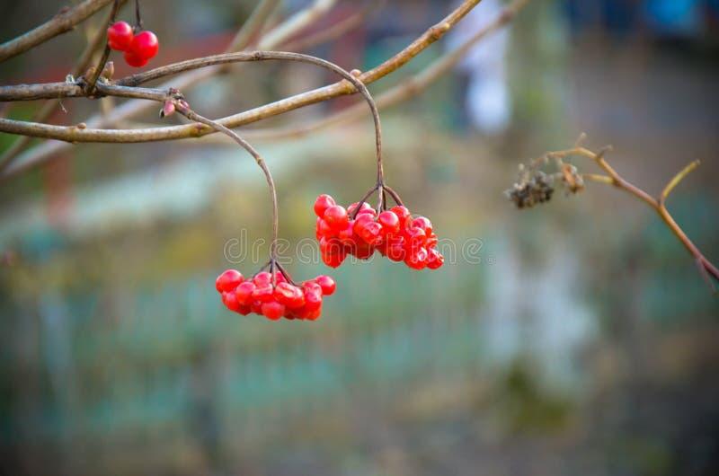 De rode bessen van guelder-namen bij de winter toe royalty-vrije stock foto