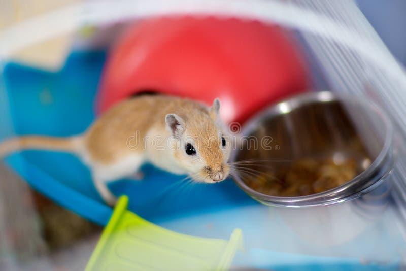 De rode binnenlandse muiswoestijnrat zit in de kooi dichtbij een het voeden trog met voedsel royalty-vrije stock afbeeldingen