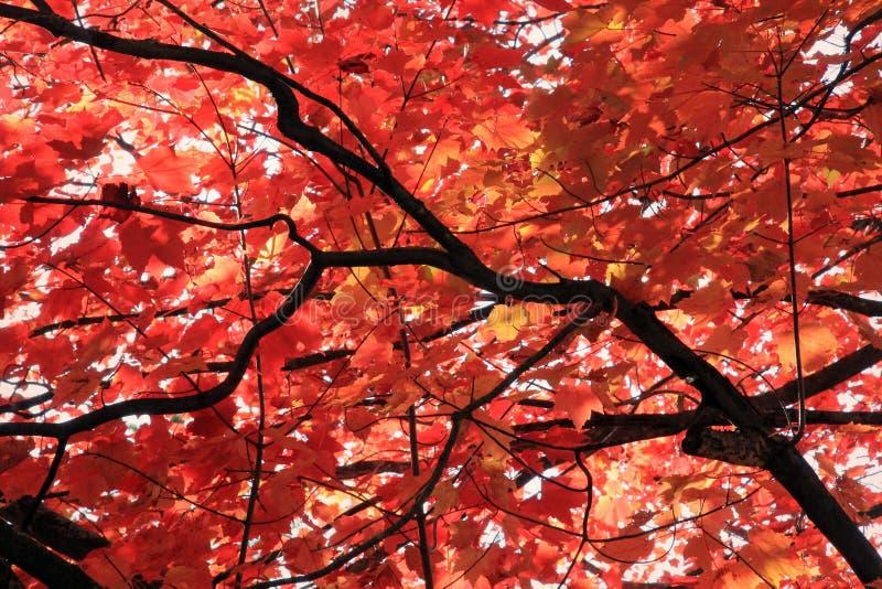 De rode Bladeren van de Esdoorn stock afbeelding