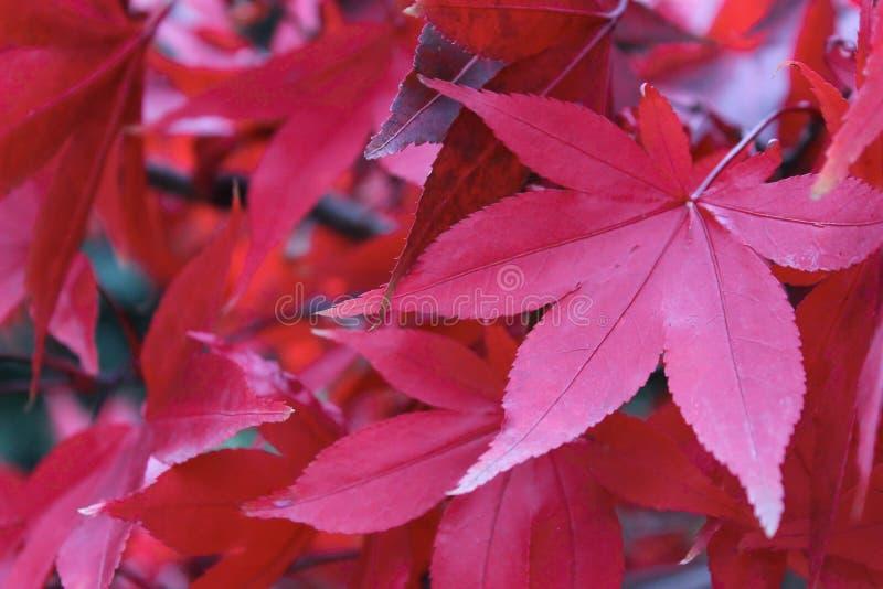 De rode Bladeren van de Herfst stock afbeeldingen