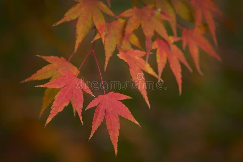 De rode bladeren van de herfst Ondiepe dof royalty-vrije stock foto's