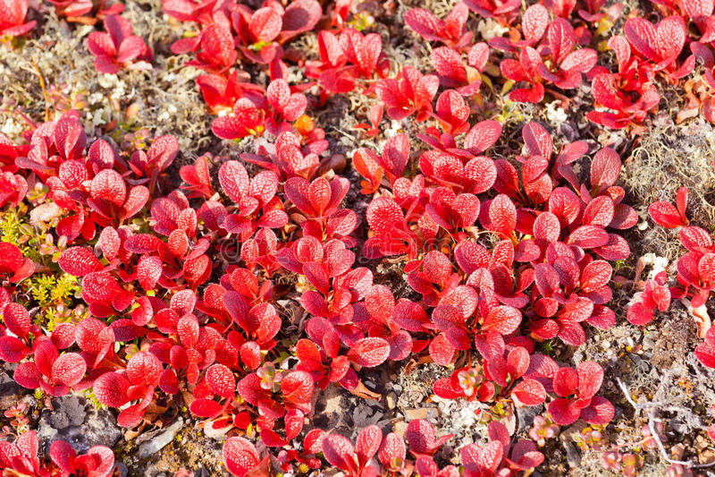 De rode bladeren van de rubra glanzende daling van Beredruifarctous stock foto