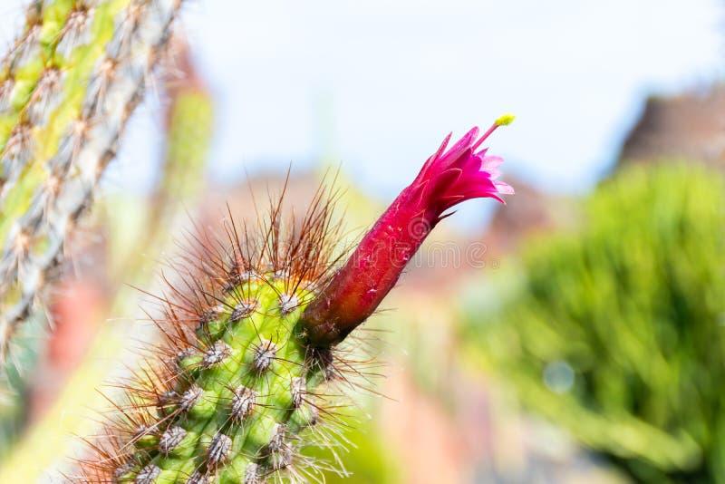 De rode bloem van de Close-upcactus, Tuin van Cactussen, Lanzarote, Canarische Eilanden, Spanje stock foto's