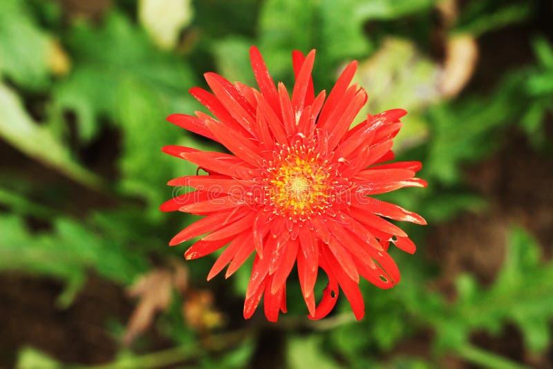 De rode bloem van Dalia en installatie dichte omhooggaand stock fotografie