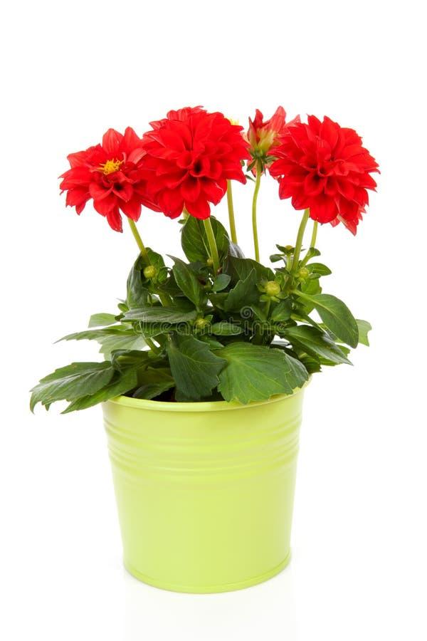 De rode bloem van de Dahlia in groene pot stock fotografie
