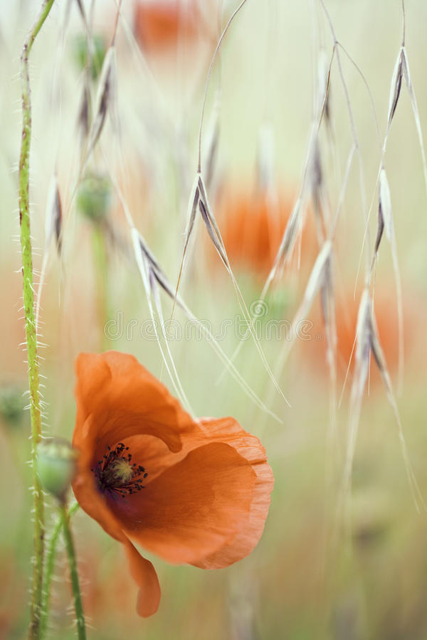 De rode bloem van de papaverlente royalty-vrije stock afbeeldingen