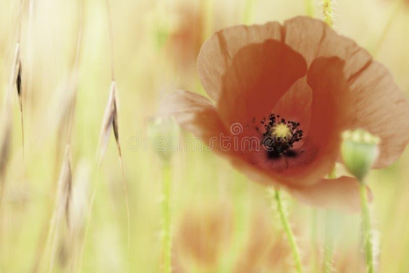 De rode bloem van de papaverzomer stock afbeeldingen