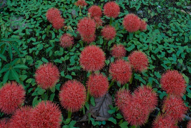 De Rode bloem van de Netchurevuurbol in belgaum bij karnataka India Azië stock foto