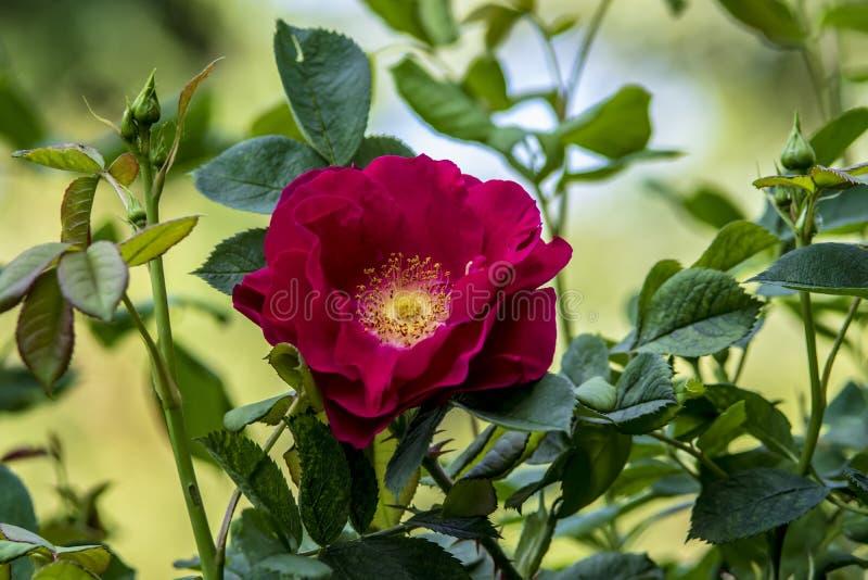 De rode bloem van roze close-up stock fotografie