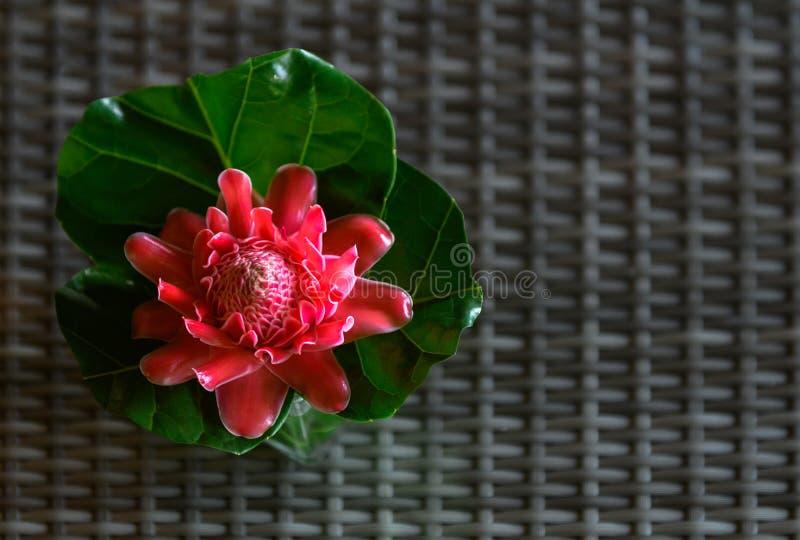 De rode bloem van de Toortsgember met groen blad stock foto