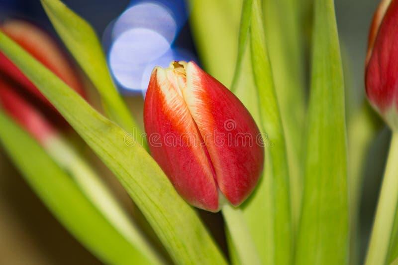 De rode bloem van de Tulp royalty-vrije stock afbeeldingen
