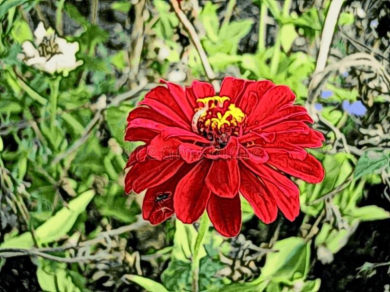 De rode bloem van Zinnia royalty-vrije stock afbeeldingen
