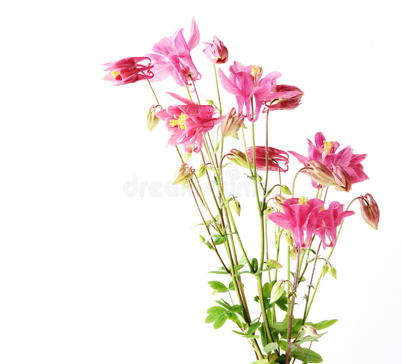 De rode Bloemen van de Ster stock afbeeldingen