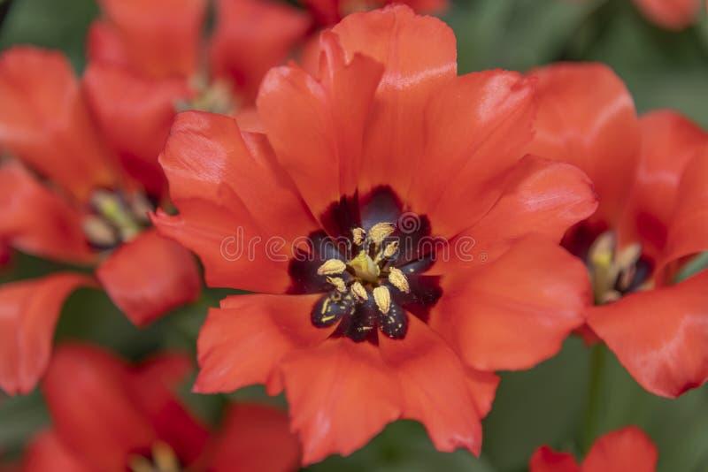 De rode bloesem van de tulpenbloem stock foto's