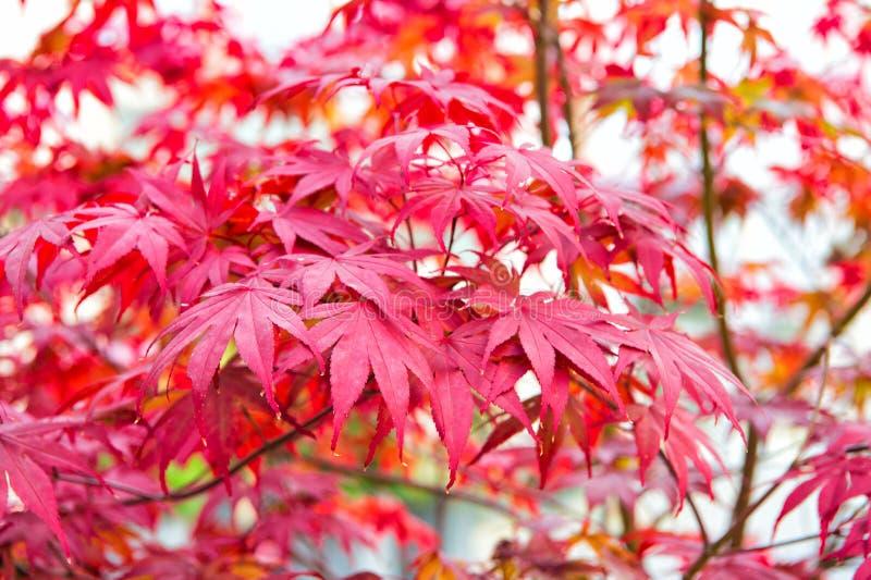 De rode Boom van de Esdoorn De herfst komt De trillende esdoorn gaat dicht omhoog weg Herfst achtergrond De bladerenachtergrond v stock foto