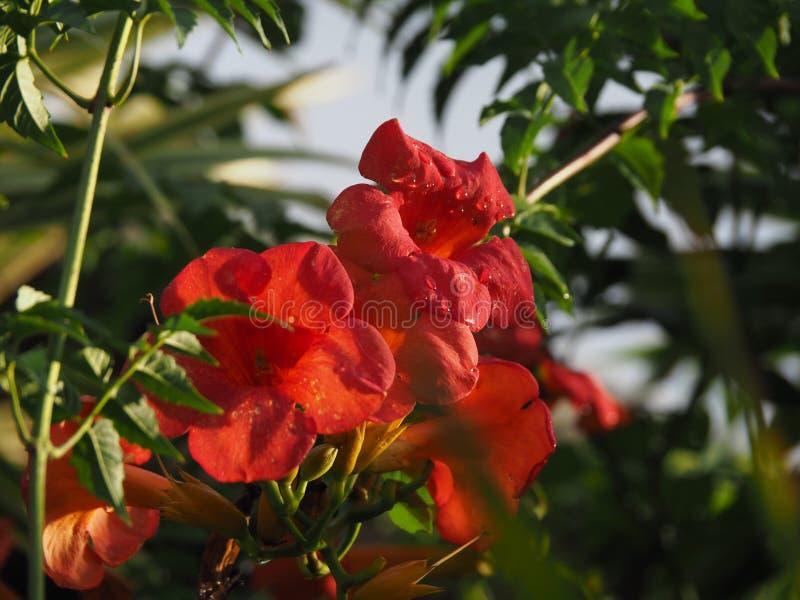 De rode boom van de Trompetklimplant met bloemen en blauwe hemel in tropisch Suriname Zuid-Amerika stock afbeeldingen