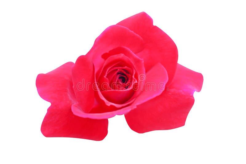De rode bovenkant viwe nam bloeien geïsoleerd op witte achtergrond met het knippen van weg toe royalty-vrije stock foto's