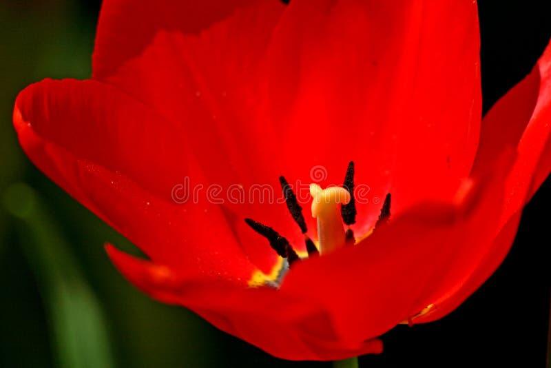 De rode Close-up van de Tulp stock afbeeldingen