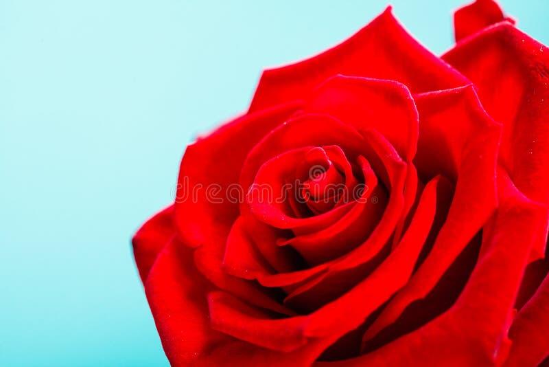 De rode close-up van het tot bloei komen nam bloem op blauw toe stock afbeelding