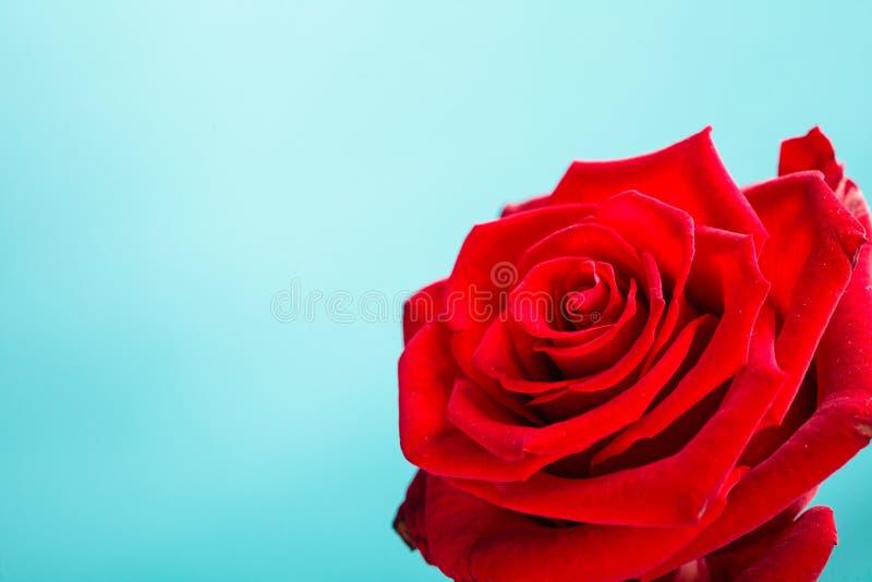De rode close-up van het tot bloei komen nam bloem op blauw toe royalty-vrije stock fotografie
