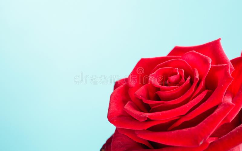 De rode close-up van het tot bloei komen nam bloem op blauw toe royalty-vrije stock afbeeldingen