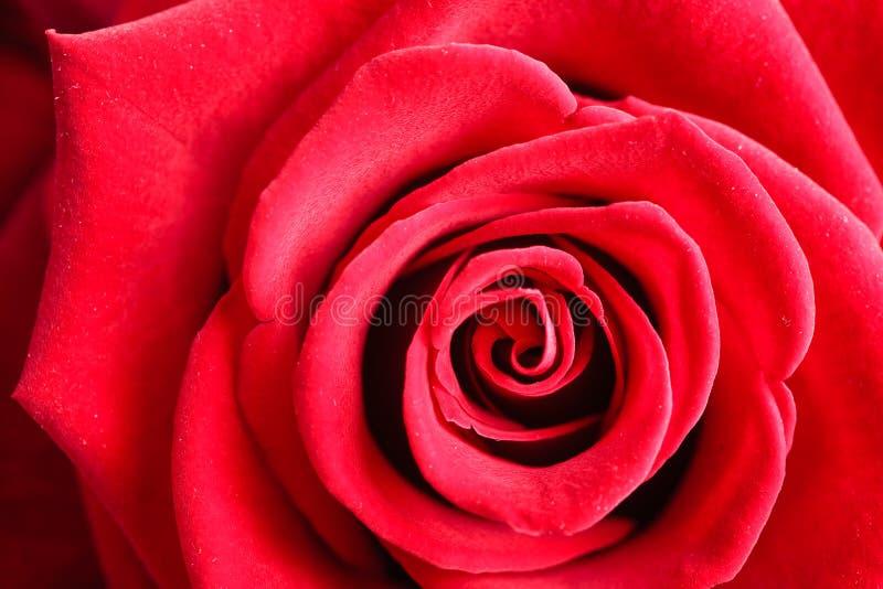 De rode close-up van het tot bloei komen nam bloem toe als achtergrond royalty-vrije stock afbeelding
