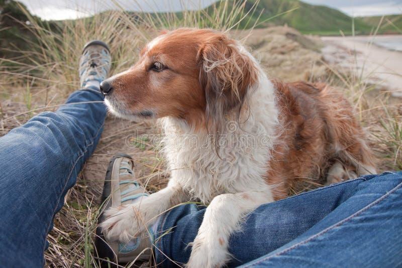 De rode collietype hond die van landbouwbedrijfschapen op de benen van de eigenaar op zandduin bij een landelijk strand liggen stock foto