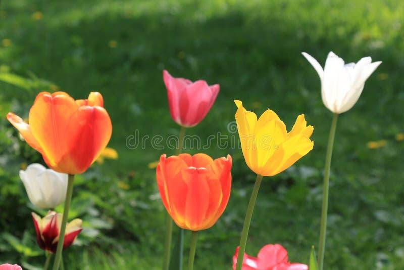 De rode die lentetulp door tulpen van verschillende heldere kleuren wordt omringd stock foto
