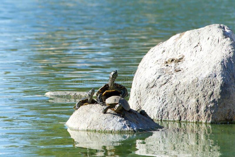 De rode eared schildpadden van de schuifvijver op een rots stock afbeeldingen
