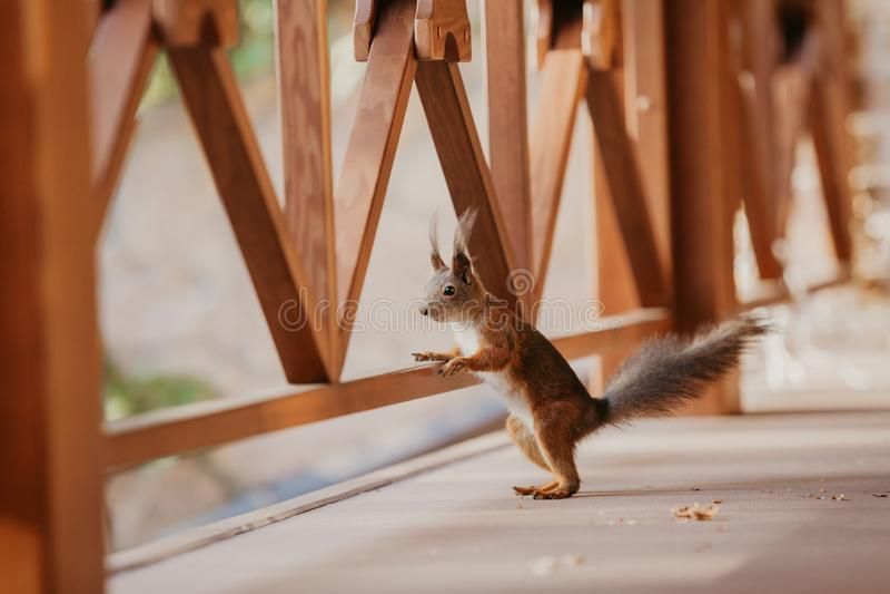 De rode eekhoorn rust voorpoot op houten straal royalty-vrije stock fotografie