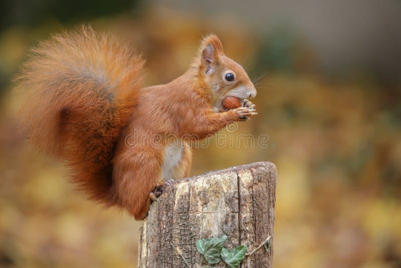De rode eekhoorn in schrijver uit de klassieke oudheid stelt royalty-vrije stock foto