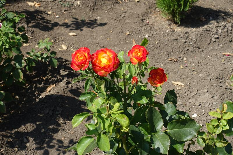 De rode en gele bloemen van namen toe royalty-vrije stock foto