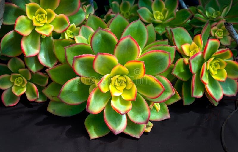 De rode en groene close-up van aeonium succulente cactussen stock afbeeldingen