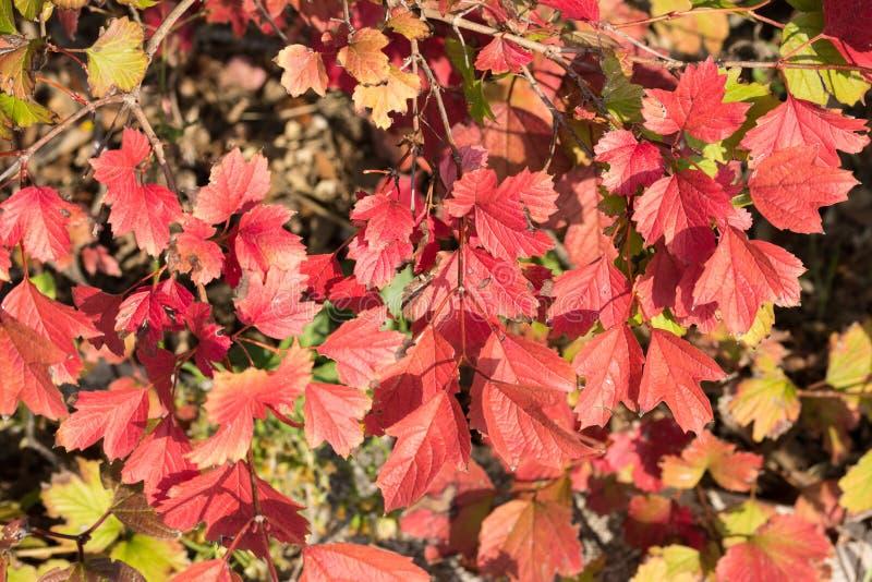 De rode en oranje kleuren van de herfstbladeren stock afbeelding