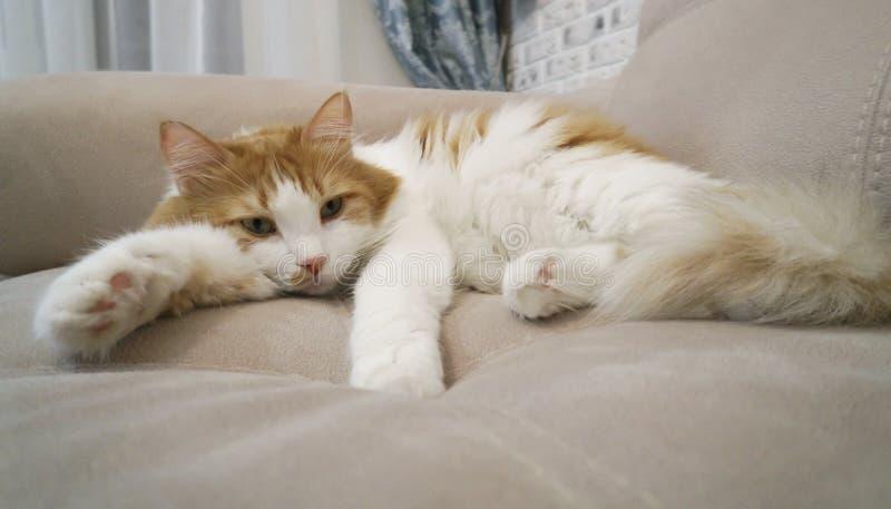 De rode en witte kat rust royalty-vrije stock afbeeldingen
