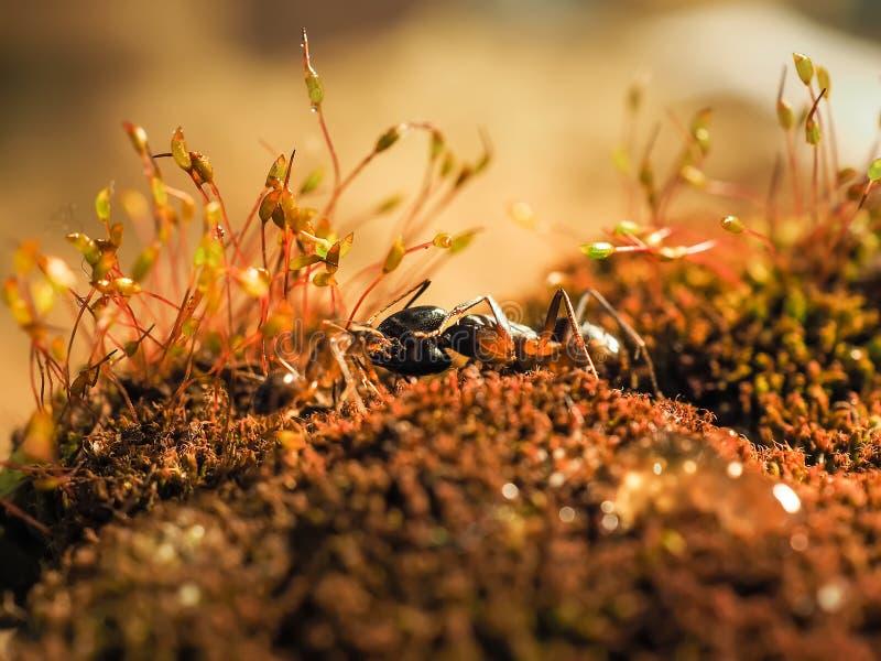 De rode en zwarte Mier vocht op de bladeren, Mier royalty-vrije stock foto's